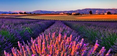 champs lavande